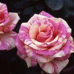 USJ親善大使ベッキーの名前のついたバラを探せ!